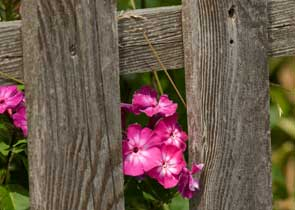 A pink flower grows next to a wooden fence