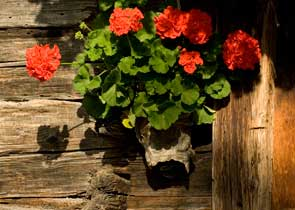 Geraniums decorate a wooden wall